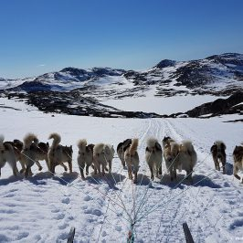 Поездка на собачьих упряжках. Гренландия